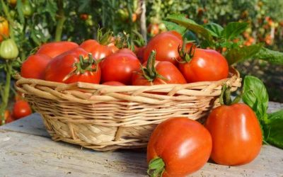 Fun Facts About Greenhouse Tomatoes